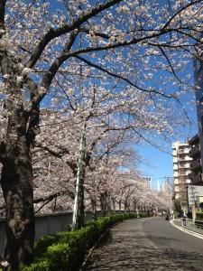 sakura2014_kon1
